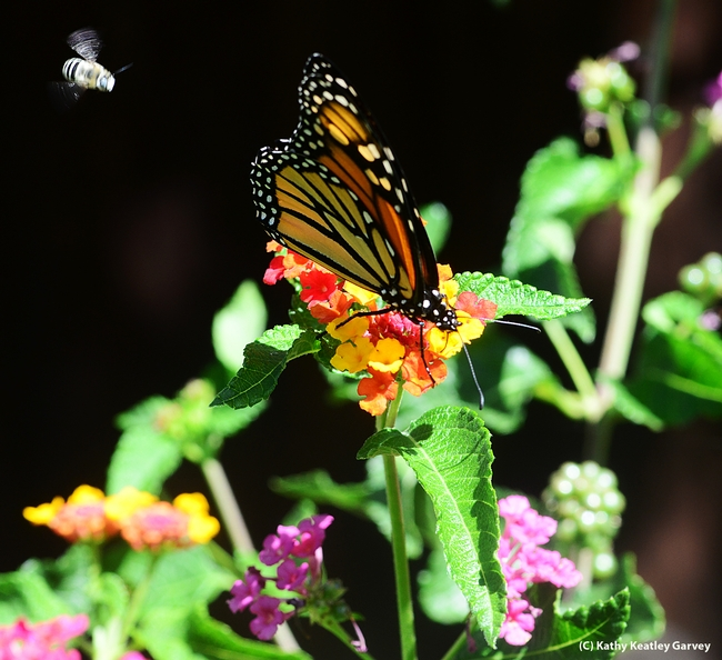 Monarch butterfly nectaring lantana, while a digger bee, Anthophora urbana, heads toward it. (Photo by Kathy Keatley Garvey)