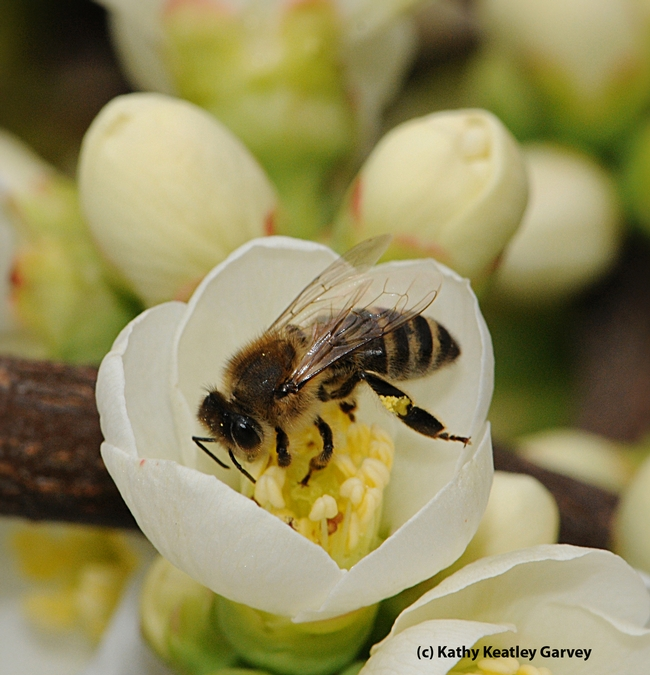 Honey bee on a white flowering quince, Chaenomeles speciosa