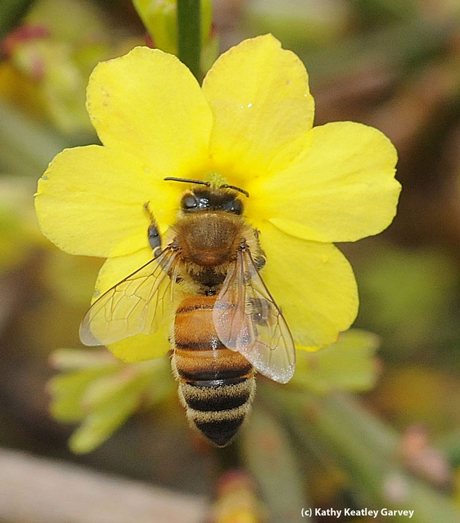 Honey bee on winter jasmine, Jasminum nudiflorum. (Photo by Kathy Keatley Garvey)