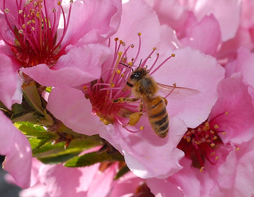 Honey bee in nectarine blossom