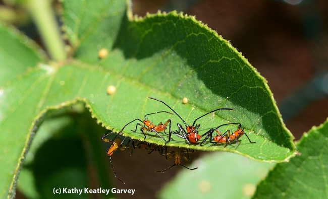 Assassin bug nymphs crowd a leaf of a passion flower vine. Note the yellow Gulf Fritillary eggs on the leaf. (Photo by Kathy Keatley Garvey)