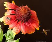 Syrphid fly (right) circles a blanket flower, unaware of the jumping spider.  (Photo by Kathy Keatley Garvey)