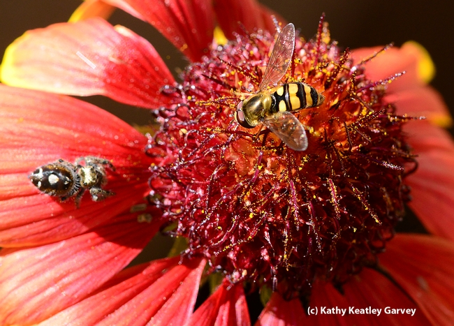 Syrphid fly sipping nectar close to the predator. (Photo by Kathy Keatley Garvey)