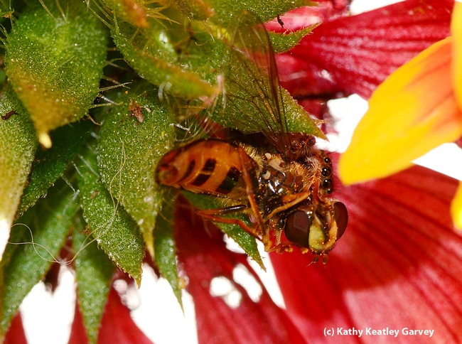 End result--the jumping spider feasting on the syrphid fly. (Photo by Kathy Keatley Garvey)