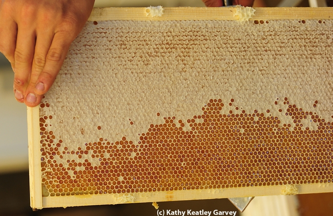 A frame of honey from the Harry H. Laidlaw Jr. Honey Bee Research Facility, UC Davis. (Photo by Kathy Keatley Garvey)