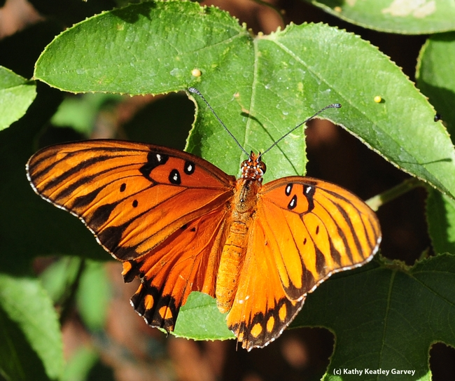 Gulf Fritillary butterfly showing signs of a predatory miss. (Photo by Kathy Keatley Garvey)