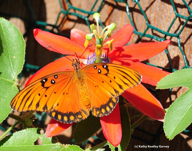 Gulf Fritillary on the blossom of a passion flower vine. (Photo by Kathy Keatley Garvey)