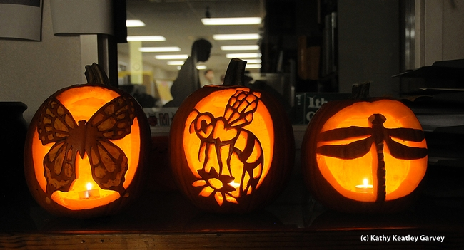 Carved Halloween pumpkins with an insect-theme will decorate the Bohart Museum. (Photo by Kathy Keatley Garvey)
