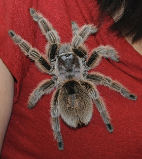 A rose-haired tarantula. (Photo by Kathy Keatley Garvey)