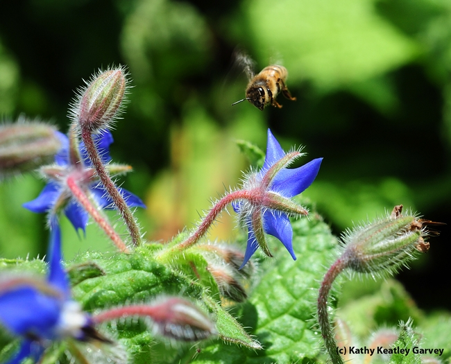 Honey bee heading for borage. (Photo by Kathy Keatley Garvey)