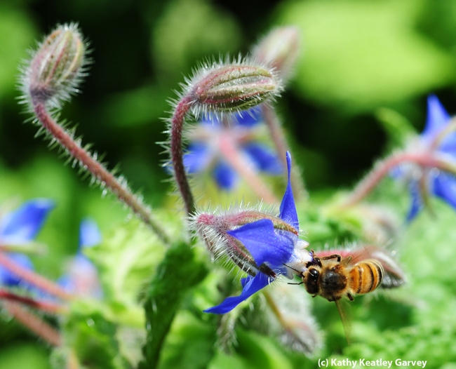 Honey bee foraging among the borage. (Photo by Kathy Keatley Garvey)