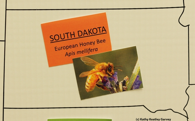 Honey bee decorates the map of South Dakota, signifying it's the state insect. (Photo by Kathy Keatley Garvey)