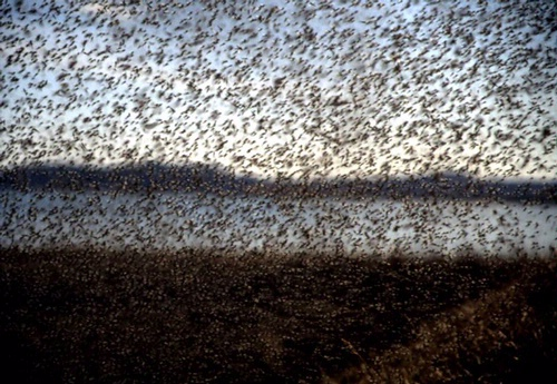 MIDGE MADNESS--This photo, showing billions of midges, was taken during the peak of the midge emergence at Lake Myvatn, Iceland. (Photo courtesy of Claudio Gratton)