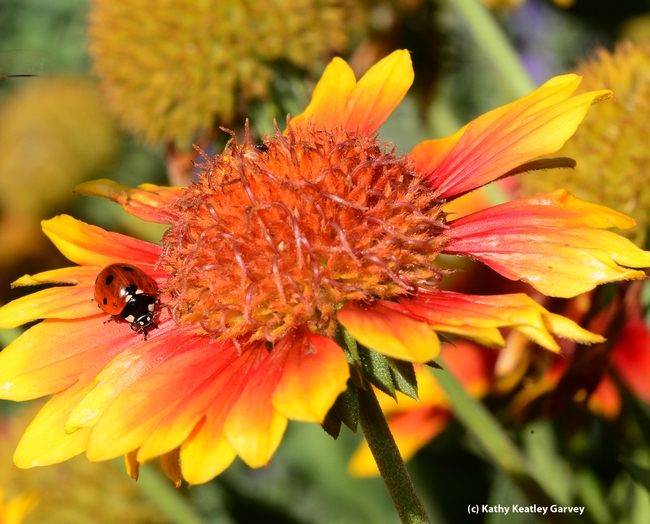 Lady beetle, aka ladybug, prowling for aphids on a blanket flower, Gaillardia. (Photo by Kathy Keatley Garvey)