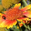 Lady beetle, aka ladybug, prowling for aphids on a blanket flower, Gaillardia. (Photo by Kathy Keatley Garvey)