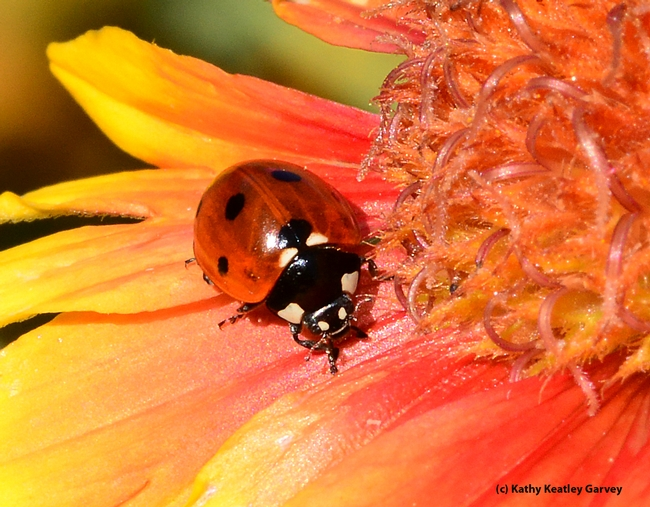 Close-up of lady beetle, aka ladybug. (Photo by Kathy Keatley Garvey)
