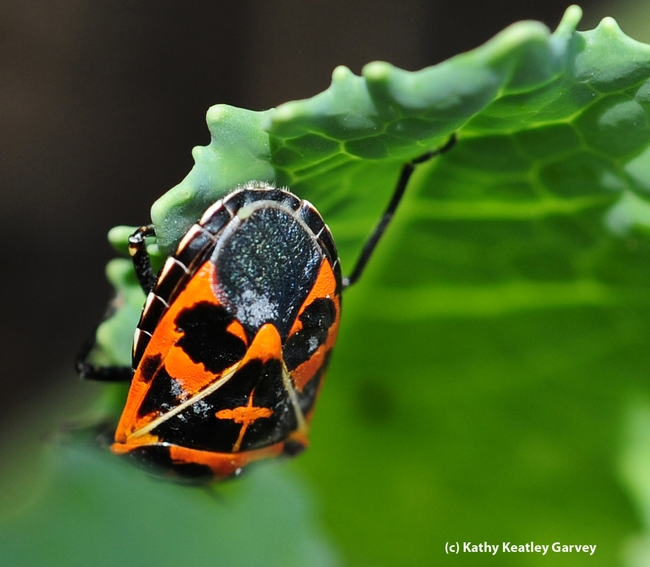 Harlequin cabbage bug feeding on cabbage. (Photo by Kathy Keatley Garvey)