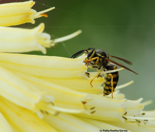 Western yellowjacket buries its head in a tubular flower. (Photo by Kathy Keatley Garvey)