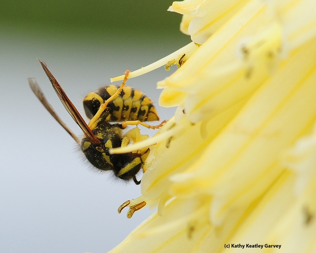 Western yellowjacket assumes the shape of a comma. (Photo by Kathy Keatley Garvey)