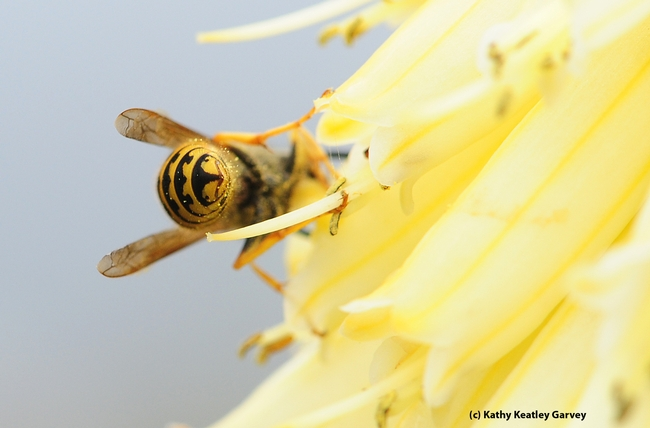 Bottoms up--western yellowjacket moves away from the camera. (Photo by Kathy Keatley Garvey)