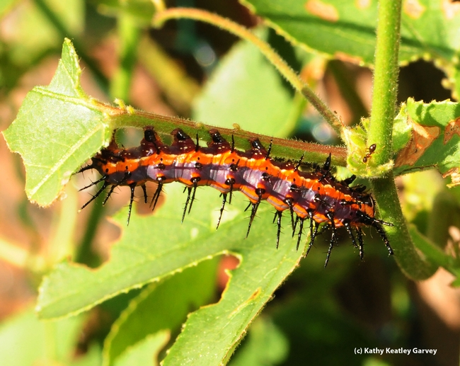 Ant investigates a Gulf Fritillary caterpillar. (Photo by Kathy Keatley Garvey)