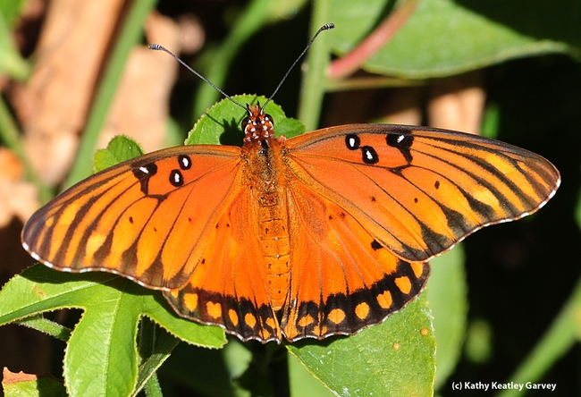 Gulf Fritillary, Agraulis vanillae, spreads its wings. (Photo by Kathy Keatley Garvey)