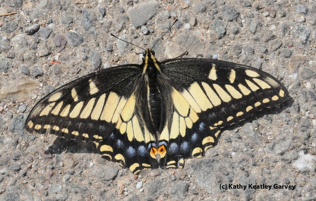 Adult stage: Anise Swallowtail (Papilio zelicaon). (Photo by Kathy Keatley Garvey)