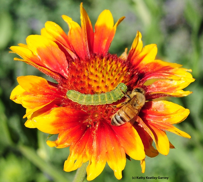 Buddies? A honey bee edges toward a Noctuid caterpillar. (Photo by Kathy Keatley Garvey)
