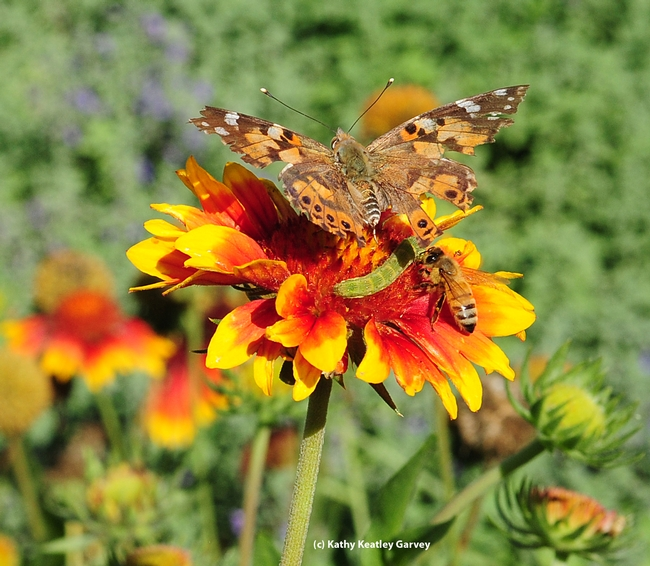 If two is company, is three a crowd? Painted Lady, honey bee and Noctuid caterpillar on blanket flower. (Photo by Kathy Keatley Garvey)