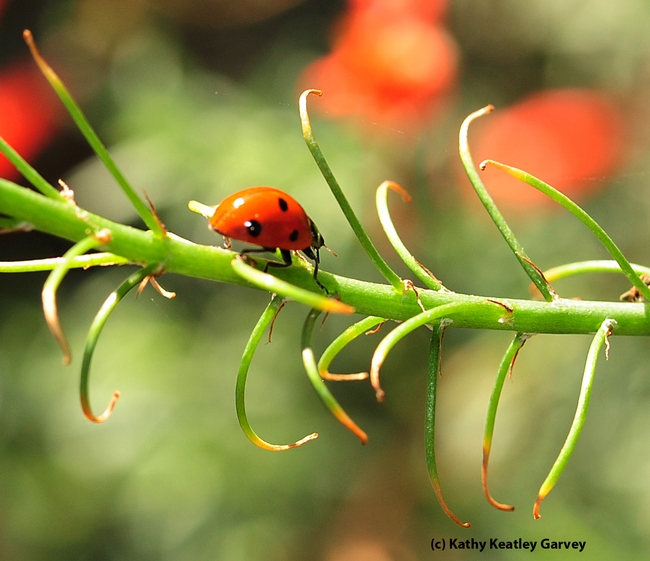 Seven-spotted lady beetle on a California fuchsia. (Photo by Kathy Keatley Garvey)