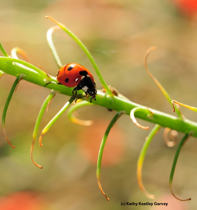 Lady beetle searching for some tasty aphids. (Photo by Kathy Keatley Garvey)