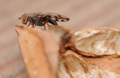 Side view of picture-winged fly.(Photo by Kathy Keatley Garvey)