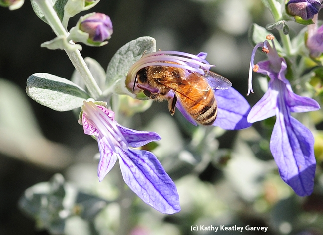 Honey bee nectaring on germander. (Photo by Kathy Keatley Garvey)