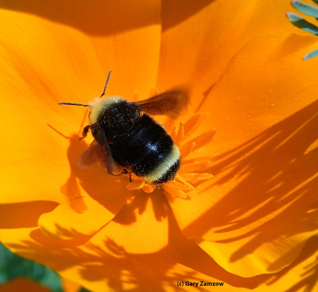 Worker bumble bee, Bombus vosnesenskii, foraging on a California poppy. (Photo by Gary Zamzow)