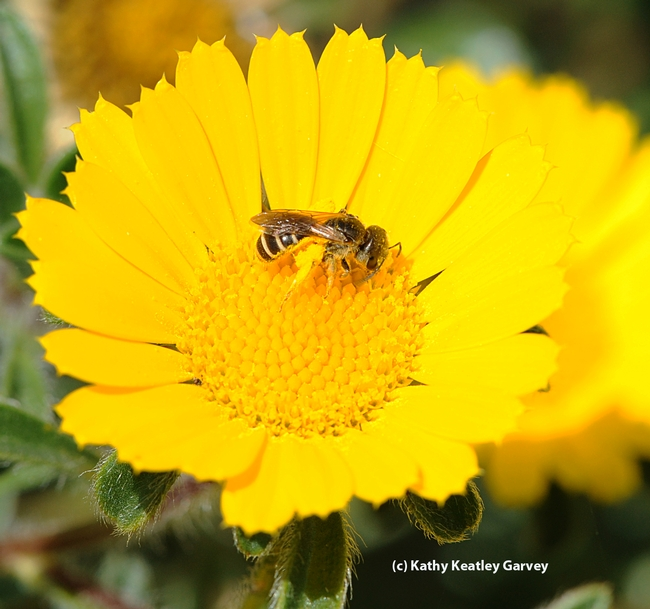 This photo, of a female sweat bee, Halictus ligatus, on a gumplant also appears in the Fremontia article. (Photo by Kathy Keatley Garvey)