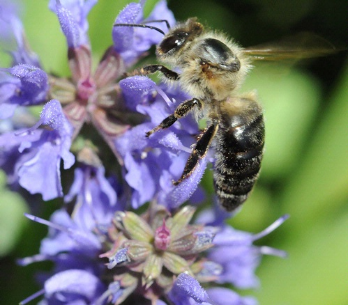 VETERAN BEE--This bee gathering pollen from sage is nearing the end of her lifespan, which is four to six weeks during the busy season. Notice the lack of hair on her thorax, an indication of