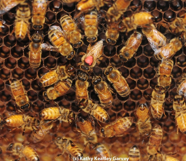 Queen bee with a red dot on her thorax. She is cared by by worker bees (infertile females). (Photo by Kathy Keatley Garvey)