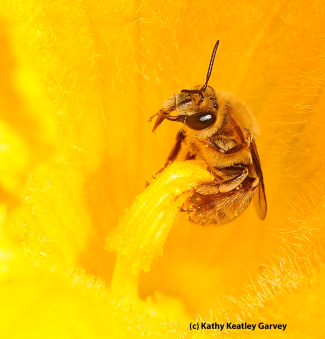 Close-up of the tiny squash bee, genus Peponapis. (Photo by Kathy Keatley Garvey)