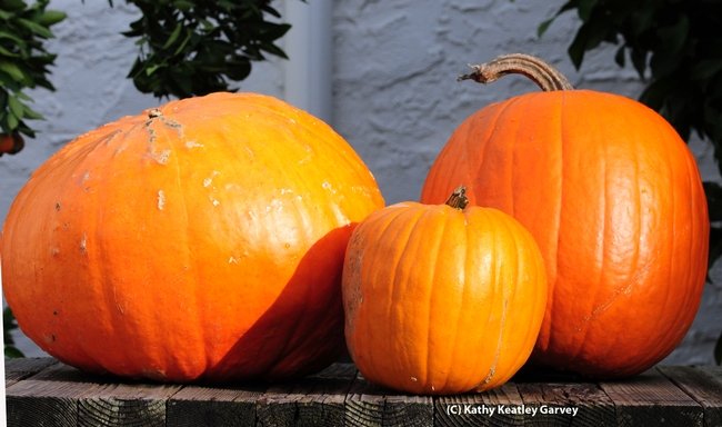These are the work of a squash bee: from left, a large gourd, a small pumpkin and a large pumpkin. (Photo by Kathy Keatley Garvey)