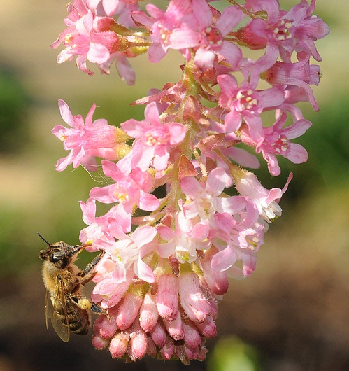 Honey bee nectaring Claremont pink currant (Ribes sanguineum var. glutinosum 'Claremont') (Photo by Kathy Keatley Garvey)