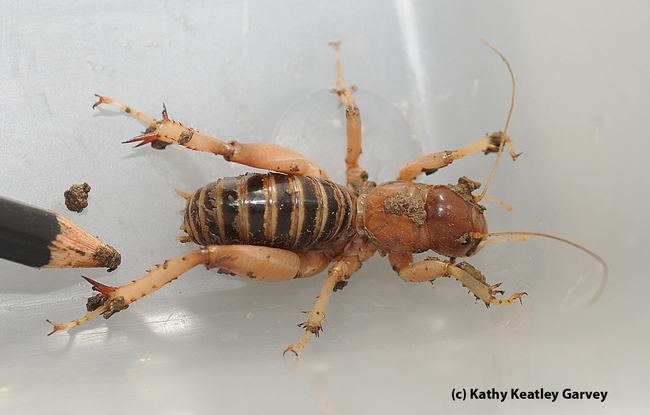 A Jerusalem cricket. (Photo by Kathy Keatley Garvey)