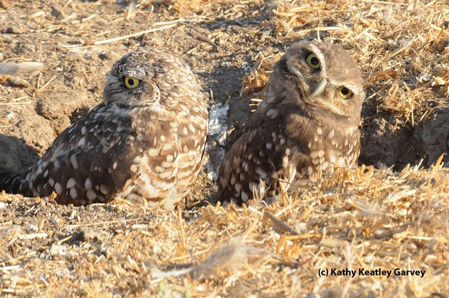 Burrowing owls feed on Jerusalem crickets. (Photo by Kathy Keatley Garvey)