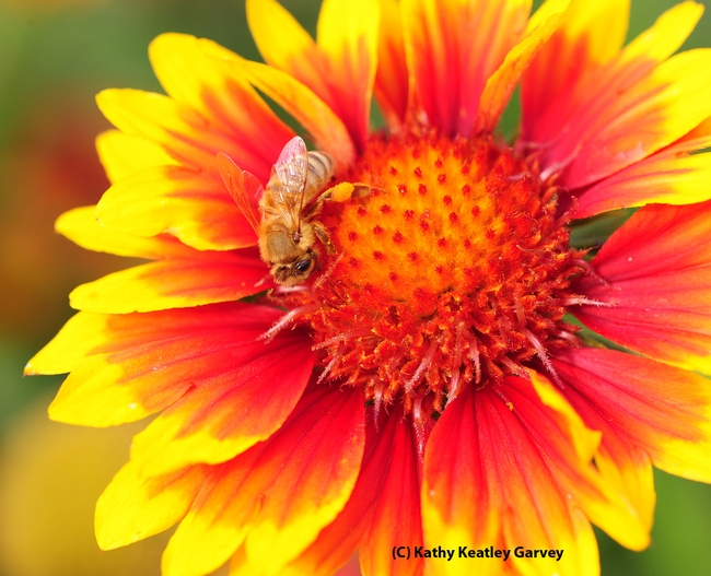 Honey bee on a blanket flower, Galliardia. (Photo by Kathy Keatley Garvey)