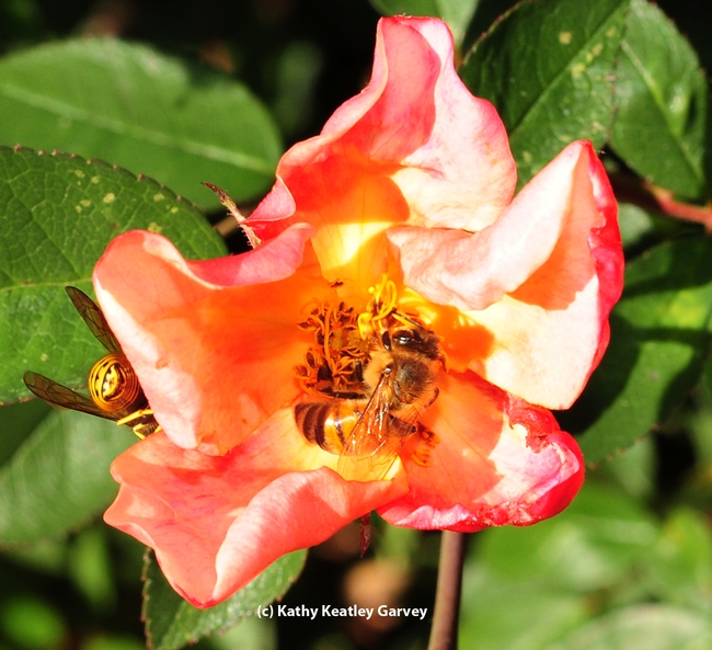 Honey bee continues to forage, while the male yellowjacket crawls away. (Photo by Kathy Keatley Garvey)