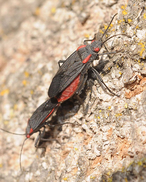 SOAPBERRY BUGS IN LOVE--These soapberry bugs are doing what comes naturally. UC Davis biologist Scott Carroll says soapberry bugs are