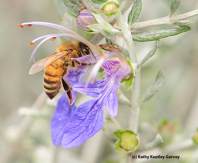 Honey bee working the germander. (Photo by Kathy Keatley Garvey)