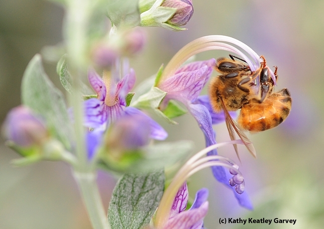 Honey bee, the acrobat. (Photo by Kathy Keatley Garvey)