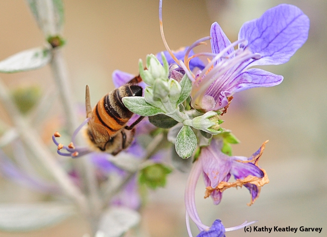 Upside down honey bee in the germander. (Photo by Kathy Keatley Garvey)
