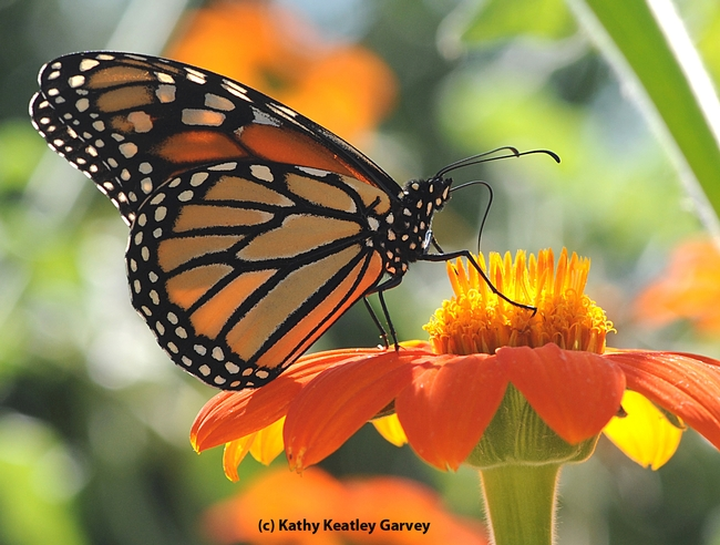 Monarch butterfly will take the spotlight on Feb. 13. (Photo by Kathy Keatley Garvey)