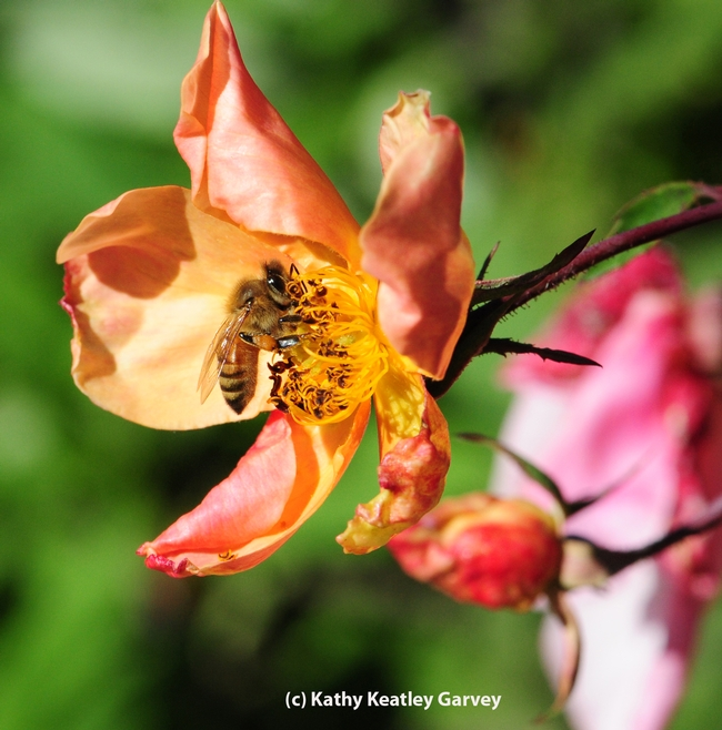 ONE: A sole honey bee visits a rose. (Photo by Kathy Keatley Garvey)